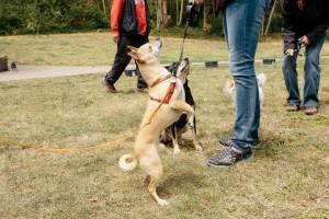 Dog Barking Jumping and Pulling