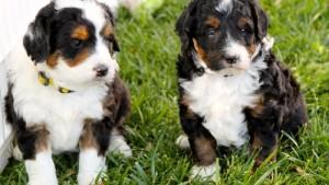 BerneDoodle breed dog