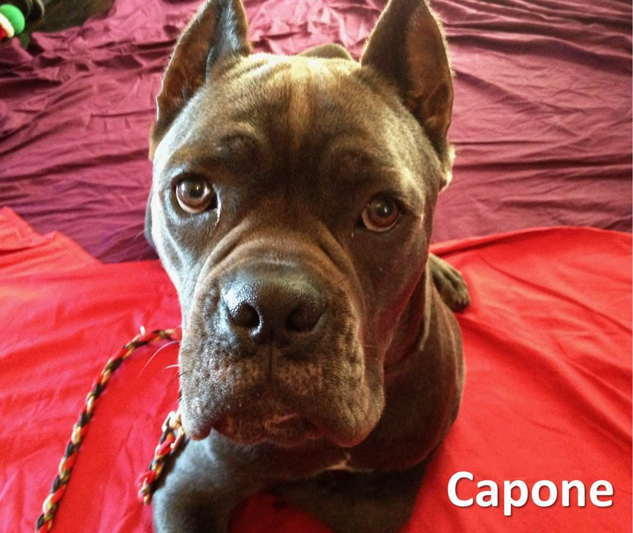 Steps For Dog On Dog Aggression Rehabilitation The Pooch Coach
