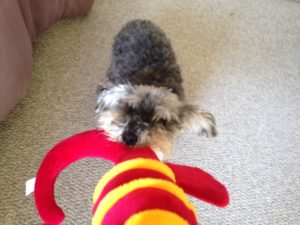 playing tug of war with your dog