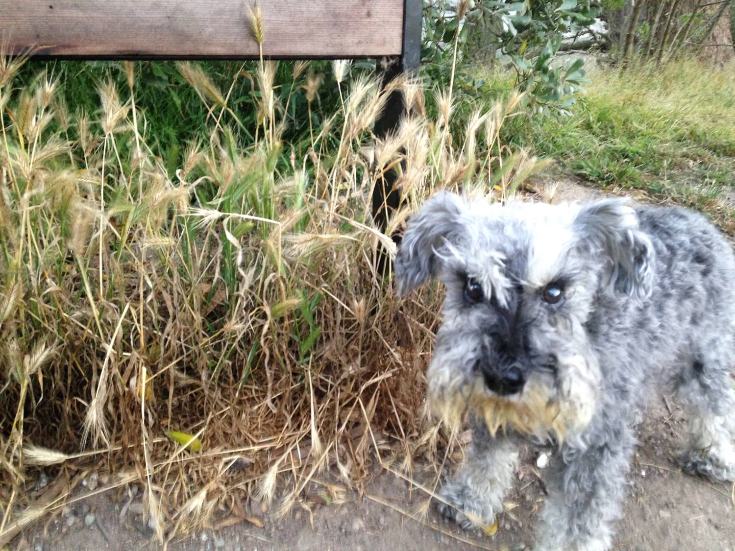 the dangers of foxtails for dogs