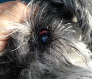dog has red bloody eye