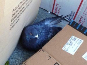 injured pigeon rescue