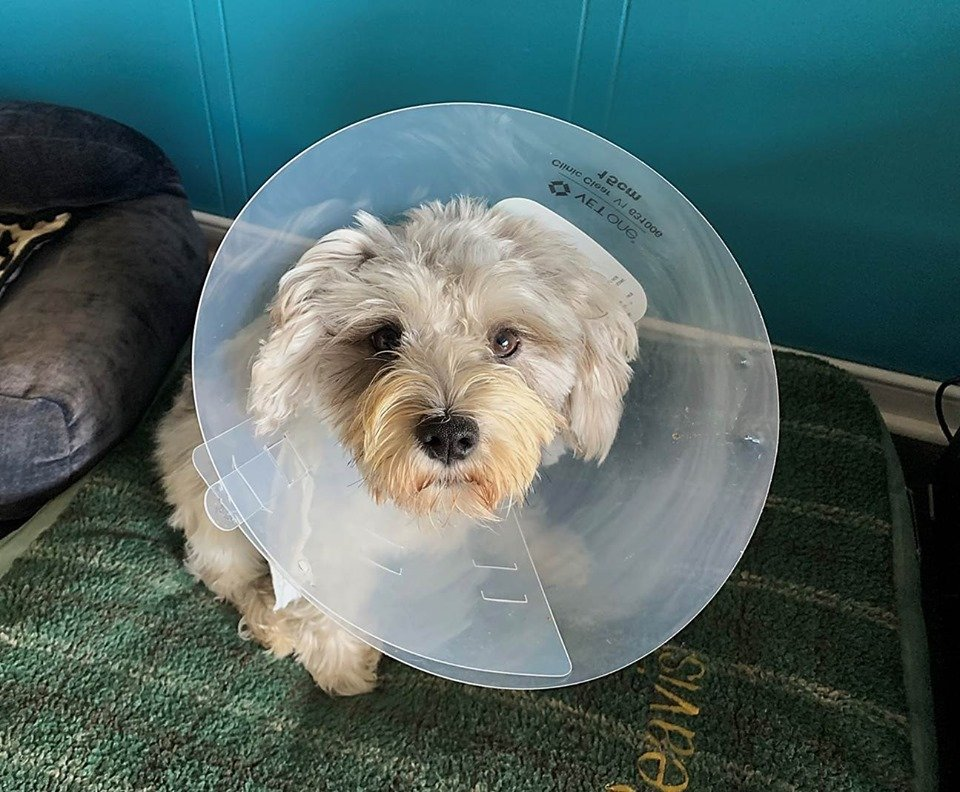 Cone of Shame Rehabbing Your Dog At Home