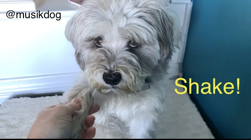 HOW TO TEACH YOUR DOG TO SHAKE PAW